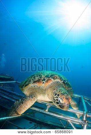 Green Turtle with sunburst behind