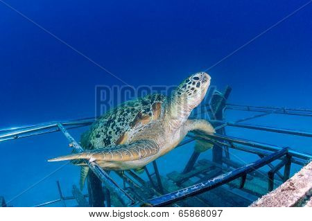 Sea Turtle On An Artificial Reef