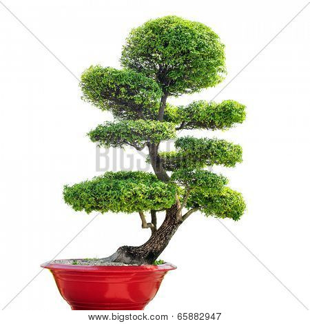 Bonsai tree isolated on white background. Traditional Japanese art of growing small plant in pot. Nature zen background.