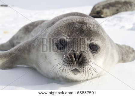 Weddell Seal Pups On The Ice Of The Antarctic Peninsula 1