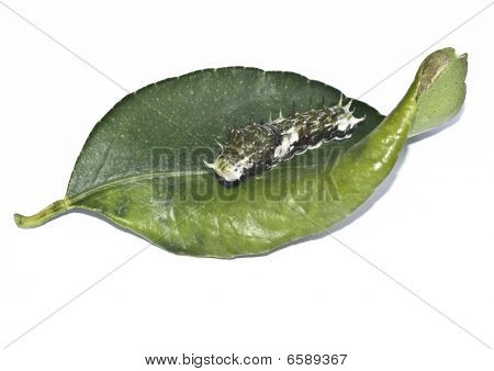 Caterpillar on green lime leaf isolated on white poster