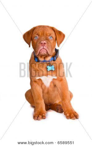 Obedient Puppy