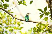 Threatened species of Asian Emerald Cuckoo bird on a branch poster