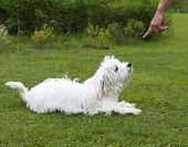obedient puppy dog maltese breed in a field of grass poster