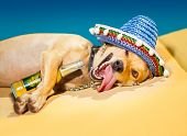 drunk chihuahua dog having a siesta with crazy and funny silly face poster