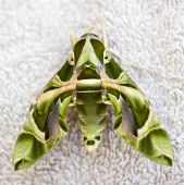 Back and wing detail of an egyptian hawkmoth poster