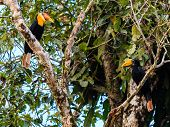 Colorful Hornbills on a tree in the rainforest of Borneo poster