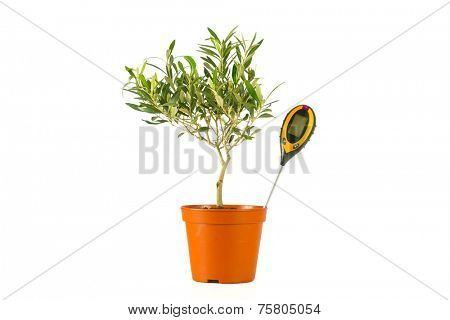 olive tree in a pot with a moisture meter poster