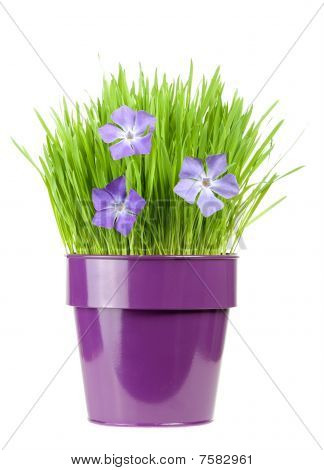 Periwinkle And Grass