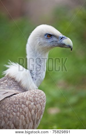Closeup portrait of a griffon vulture (gyps fulvus) on green blur background.
