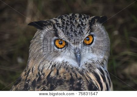 The head of a screech owl. Stare of a long-eared owl very skilled raptor.