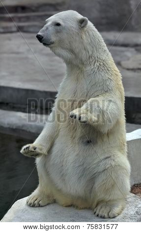 A polar bear female sitting up straight with lifted forepaws.