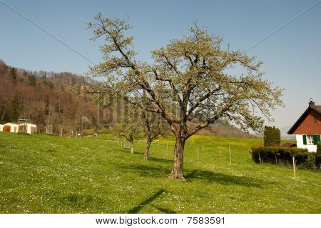 Tree And Residence On A Rural Hillside