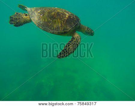 Gliding Sea-Turtle