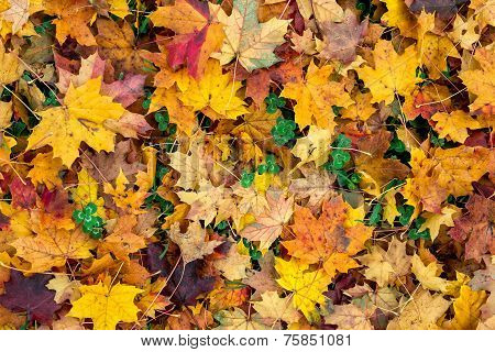 autumn leaves and trefoil-clover