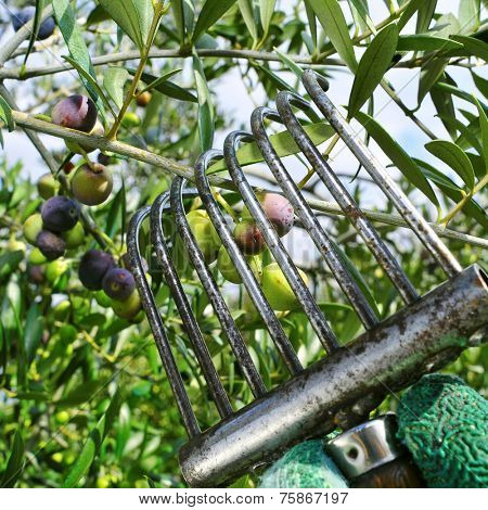 harvesting arbequina olives in an olive grove in Catalonia, Spain poster