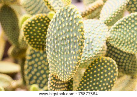 Close Up Opuntia Rufida Cactaceae