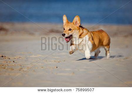 adorable welsh corgi pembroke dog on the beach poster