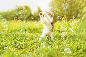 Little kitten playing with soap bubbles on summer meadow. Image with sunlight effect poster