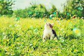 Little kitten looks on soap bubbles on summer green meadow poster