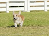 A young healthy beautiful red sable and white Welsh Corgi Pembroke puppy dog with a docked tail walking on the grass happily. The Welsh Corgi has short legs long body big erect ears and is a herding breed. poster