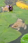 Frogs sitting in a pond with details poster