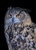A screech owl very beautiful wild animal. Stare of a long-eared owl very skilled raptor. Nocturnal bird with expressive amber wide open eyes. poster