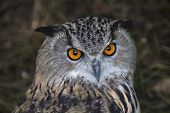 The head of a screech owl. Stare of a long-eared owl very skilled raptor. Nocturnal bird with expressive amber wide open eyes. poster