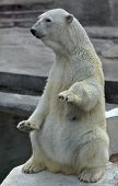A polar bear female sitting up straight with lifted forepaws. Wild beauty of the most dangerous and mighty beast of the world. Severe but cute predator. poster