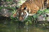 A tiger getting a drink from a pool of water poster