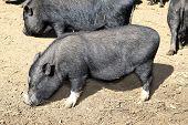 vietnam black little pig eating on clay floor poster