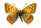Common Copper (Lycaena phlaeas) butterfly isolated on white poster