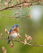 Eastern bluebird Sialia sialis perched on a tree branch poster