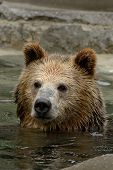 Grizzly bear taking a bath poster