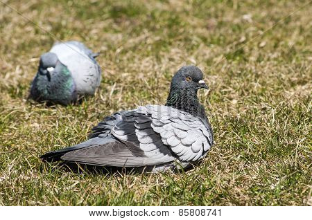 Rock feral pigeon dove resting on winter green grass meadow poster