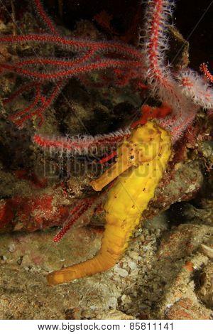 Tigertail Seahorse poster