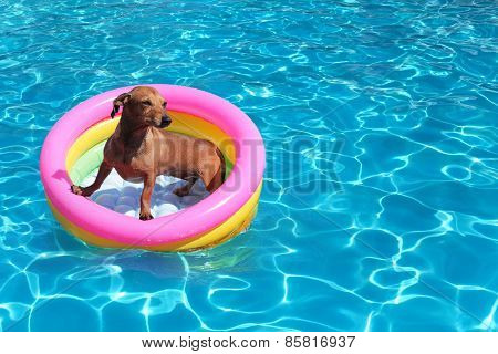 nice dog on airbed in the pool