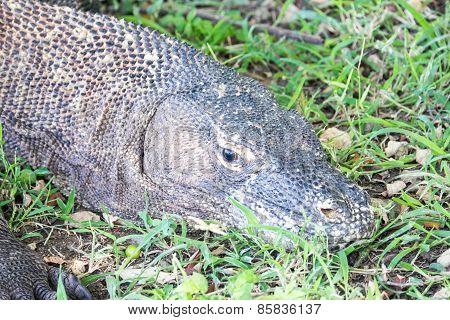 Komodo Dragon Lying On The Ground