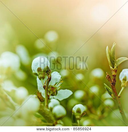 Buds, flowering in spring