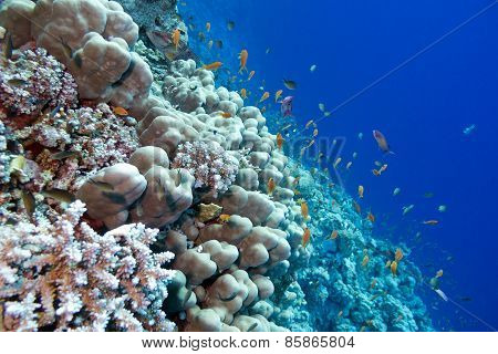 coral reef with porites corals and exotic fishes anthias, underwater