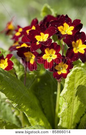 Primrose Primrose With Burgundy Flowers With Yellow Mid To Full Bloom Closeup.