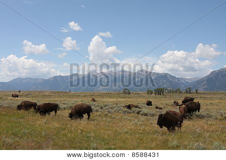 Bison Roaming The West