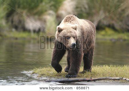 Brown bear on walking on riverbank