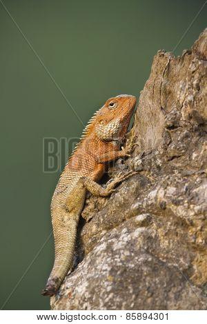 Oriental Garden Lizard With Mutilated Tail
