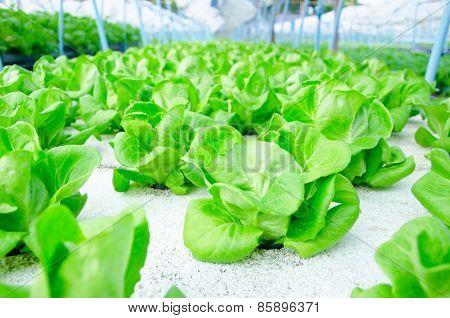 Green Cos Lettuce/ Butterhead - Hydroponics Vegetable Farm.