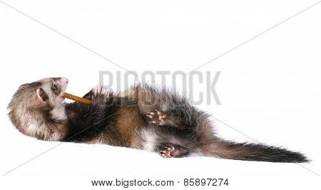 Sable Ferret Chewing on Treat