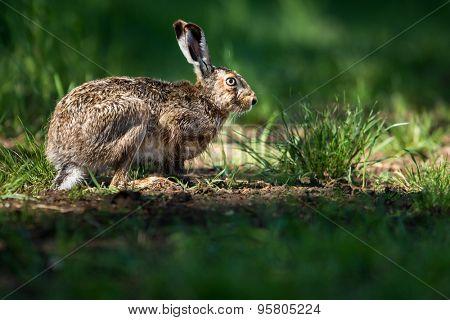 Brown hare (Lepus europaeus)