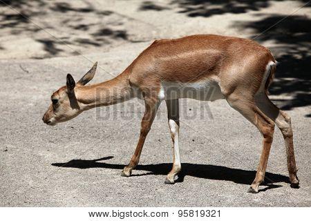 Female Indian blackbuck (Antilope cervicapra). Wild life animal.