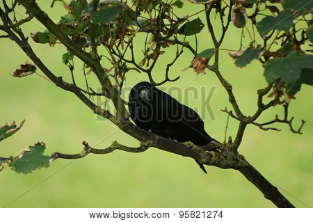 Rook In Tree