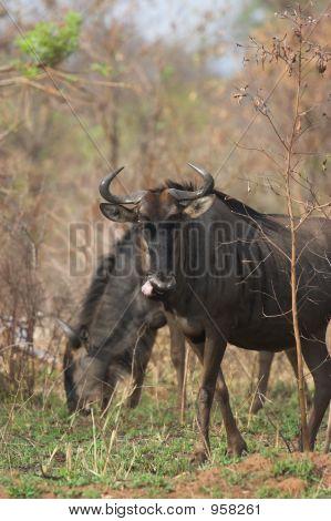 Blue Wildebeest Pair